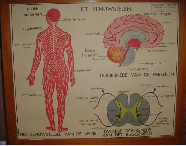 16 - het zenuwstelsel